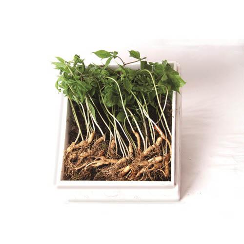 [H10-143]잎부터 뿌리까지 모두 먹는_강원도 2~3년근 새싹삼 100뿌리